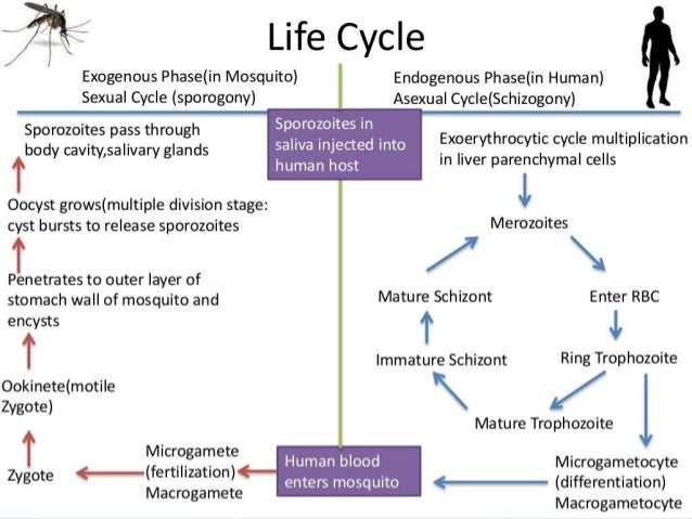 Asexual cycle malaria