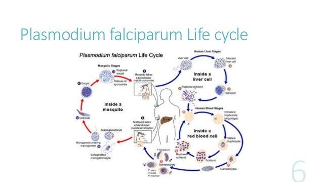 life cycle of plasmodium vivax pdf