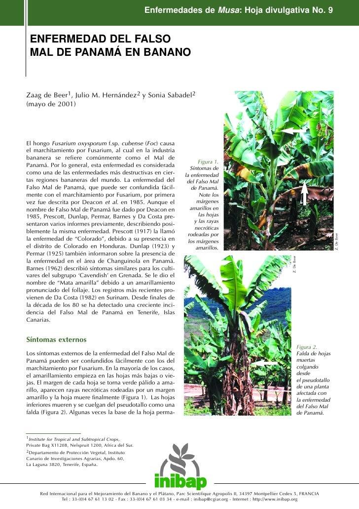 Enfermedades de Musa: Hoja divulgativa No. 9    ENFERMEDAD DEL FALSO  MAL DE PANAMÁ EN BANANO   Zaag de Beer1, Julio M. He...