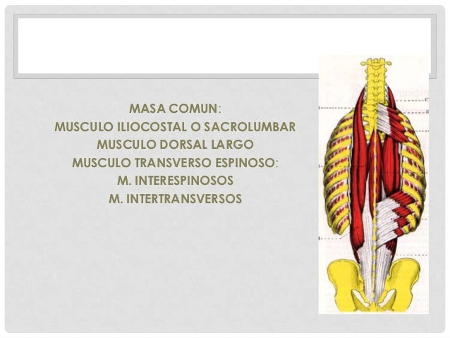 MASA COMUN:MUSCULO ILIOCOSTAL O SACROLUMBAR     MUSCULO DORSAL LARGO  MUSCULO TRANSVERSO ESPINOSO:        M. INTERESPINOSO...