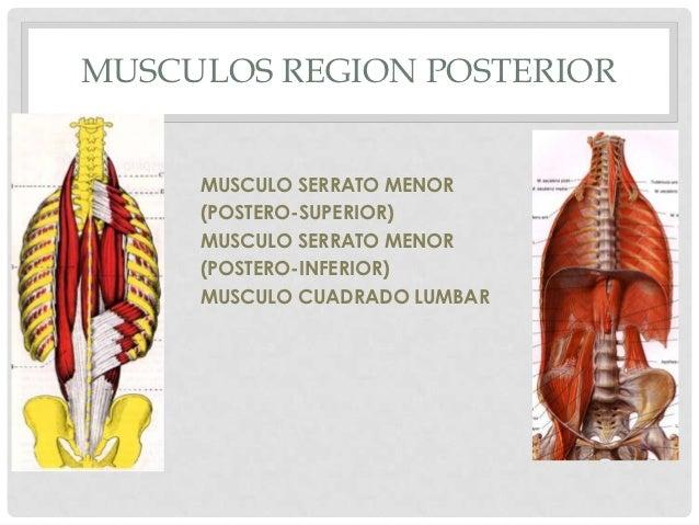 MUSCULOS REGION POSTERIOR     MUSCULO SERRATO MENOR     (POSTERO-SUPERIOR)     MUSCULO SERRATO MENOR     (POSTERO-INFERIOR...