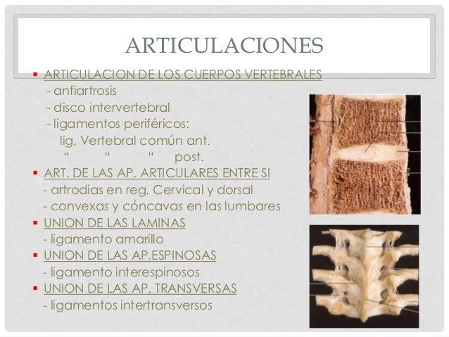 ARTICULACIONES ARTICULACION DE LOS CUERPOS VERTEBRALES   - anfiartrosis   - disco intervertebral   - ligamentos periféric...