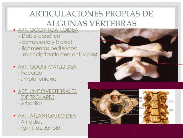 ARTICULACIONES PROPIAS DE         ALGUNAS VÉRTEBRAS ART. OCCIPITOATLOIDEA  - Doble condílea  - compuesta y biaxial  - lig...