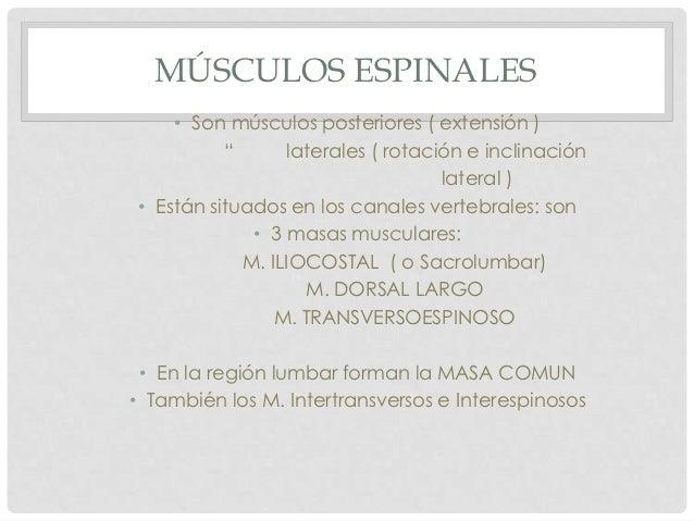 "MÚSCULOS ESPINALES     • Son músculos posteriores ( extensión )           ""      laterales ( rotación e inclinación       ..."