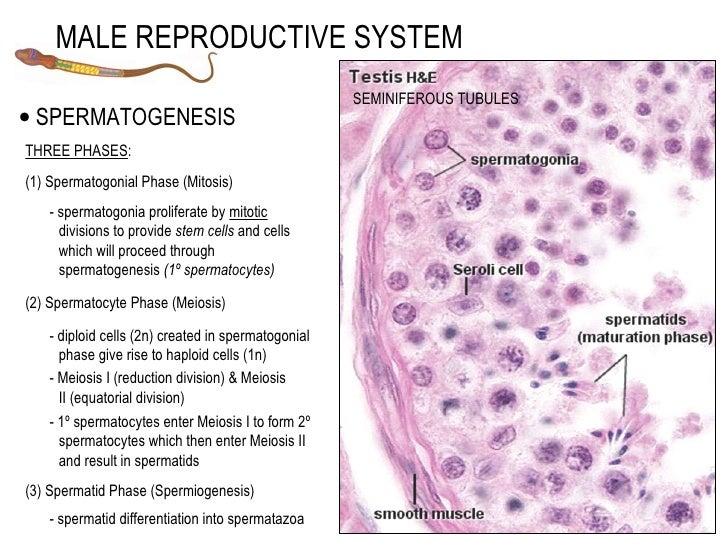 Male: Seminiferous Tubules