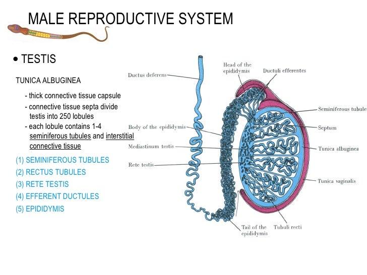 testosterone into estrogen