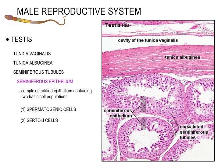 schematic diagram of male reproductive system with Male 9492249 on Male 9492249 besides Half Of Young Women Unable To Locate Vagina And 65 Find It Difficult To Say The Word 9703929 besides Kidney Diagram In Body additionally Insect Body Parts Diagram additionally Histologydrawings blogspot.