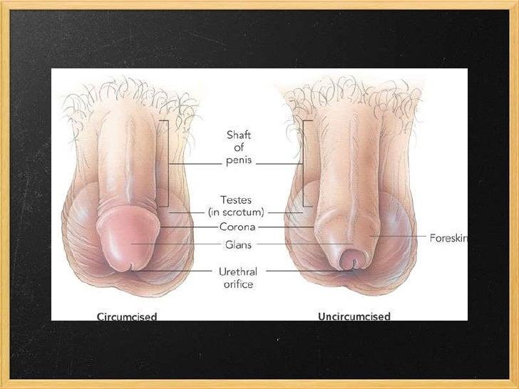 Male Anatomy Ch 4