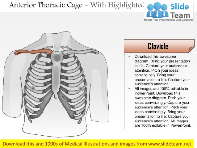 Male Chest Wall  U2013 Anterior View Medical Images For Power Point