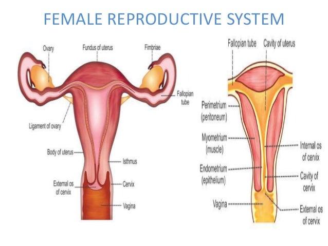 Mens Internal Organs Diagram Female Trusted Wiring Diagram