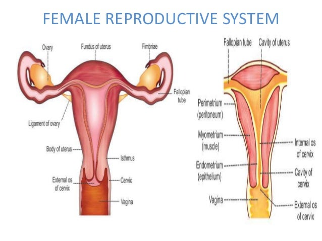 Male Female Reproductive System