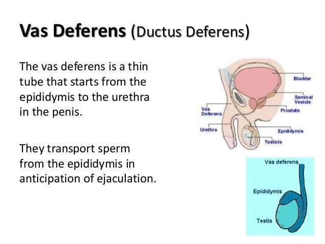 Male Genital Part I