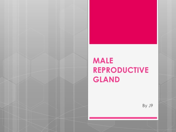 MALE REPRODUCTIVE GLAND<br />By J9<br />