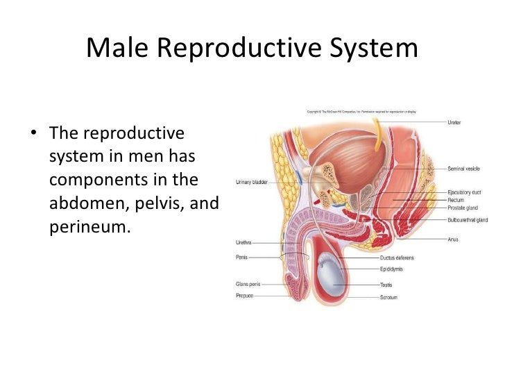 male-reproductive-system-2-728.jpg?cb=1272439855