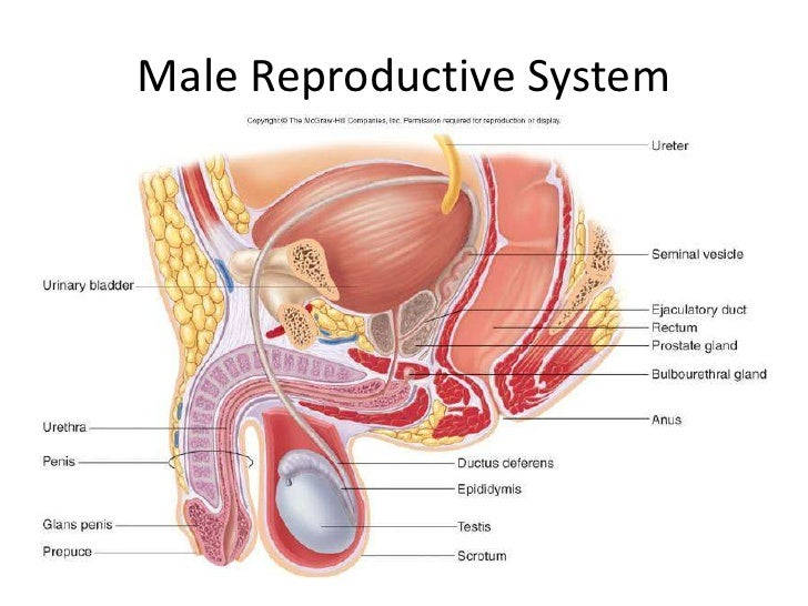 Male Reproductive System 4 728gcb1272439855