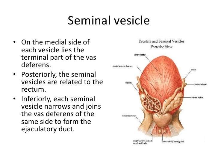 Seminal Vesicle Anatomy Diagram Enthusiast Wiring Diagrams