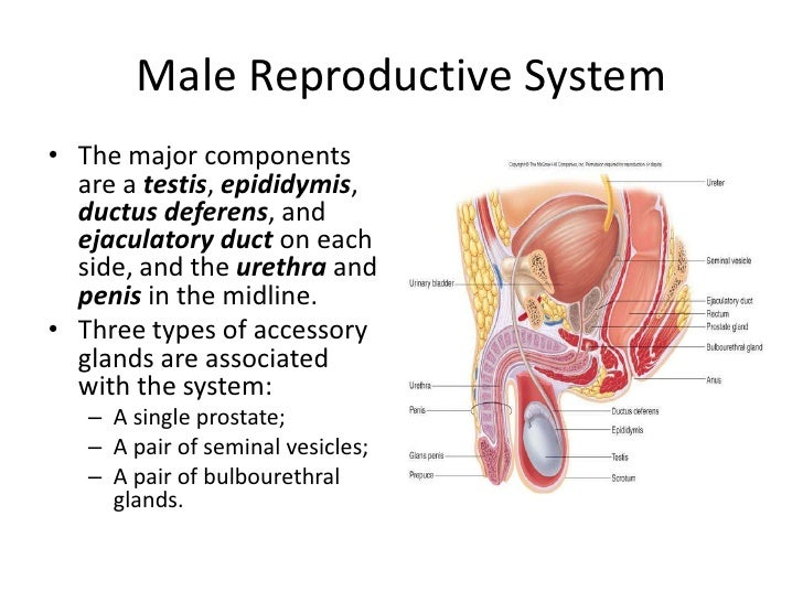 main parts of male reproductive system