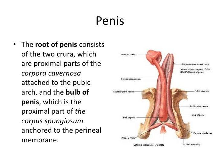 Sensitive areas of penis