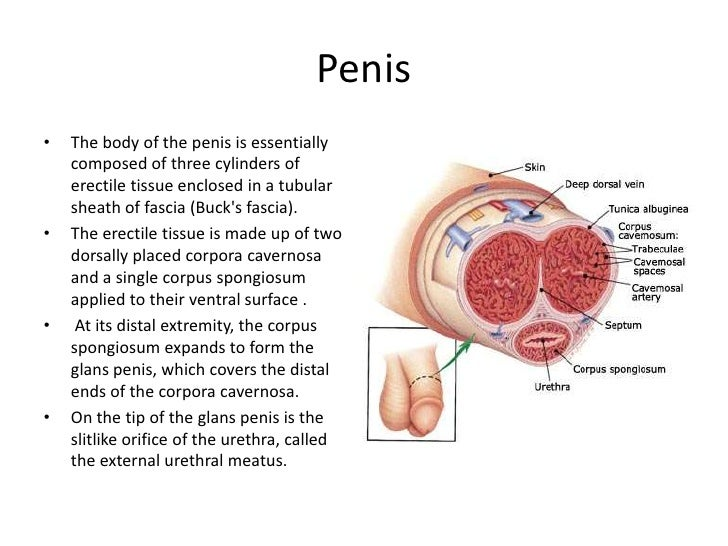 function of penis in male reproductive system