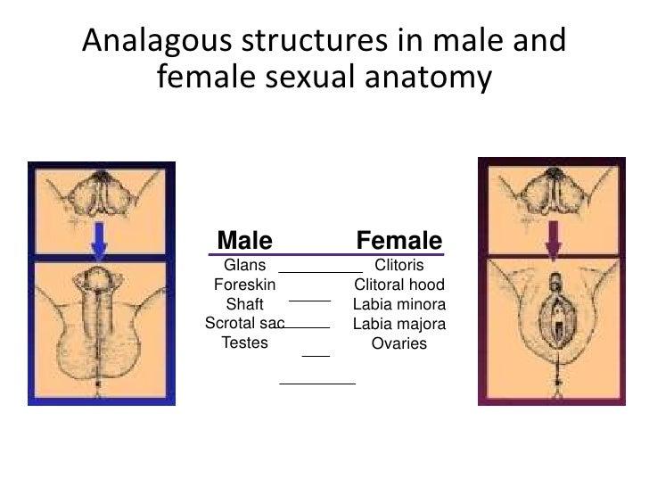 shaft male anatomy