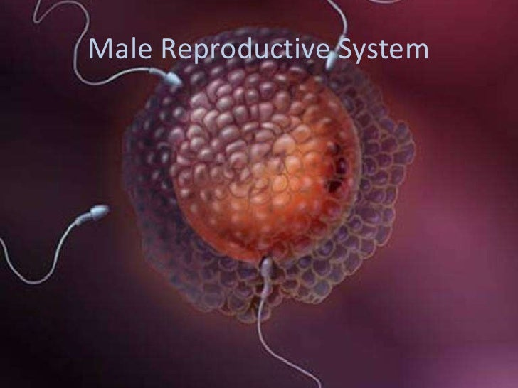 Male Reproductive System<br />