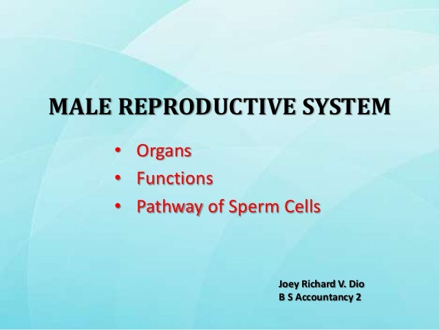 MALE REPRODUCTIVE SYSTEM    • Organs    • Functions    • Pathway of Sperm Cells                       Joey Richard V. Dio ...