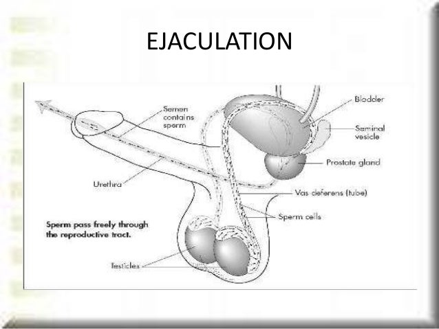 sperm ejaculating with urine flow jpg 1500x1000