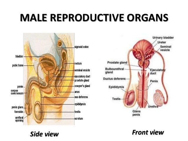 Statistics on male sex organs