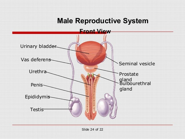 Pathway of sperm from testes to urethra