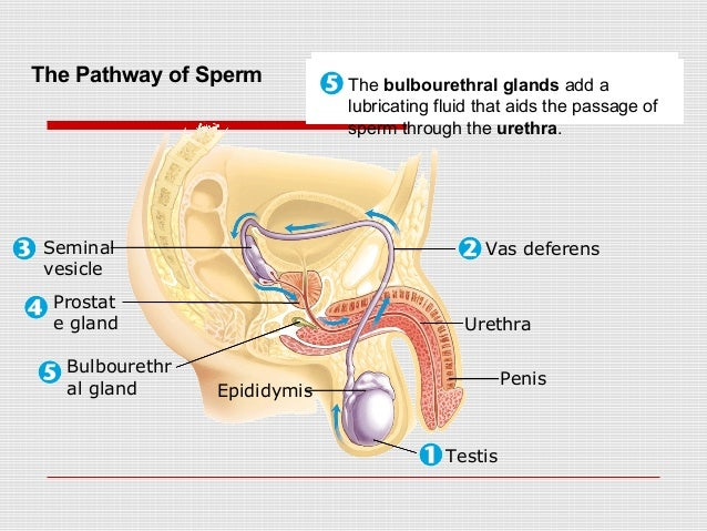 Spip as well Vit D Is It The Mericle Vitamine in addition Prostate Gland Anatomy Pictures 2 moreover Prostate Gland Male Reproductive System also Anatomy The Prostate Gland. on prostate gland