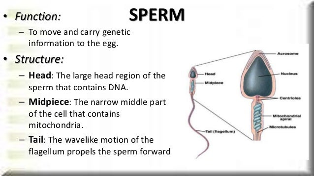 Function of midpiece of the sperm