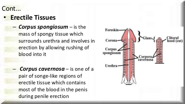 Male reproductive system 9 erectile tissues ccuart Choice Image