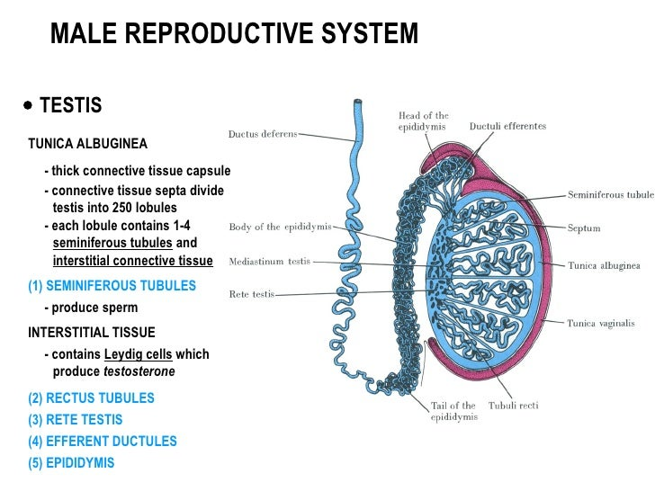 male-reproductive-system-3-728.jpg?cb=1335764303