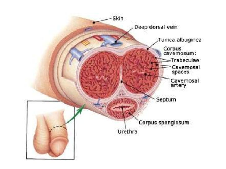 Male reproductive system 1