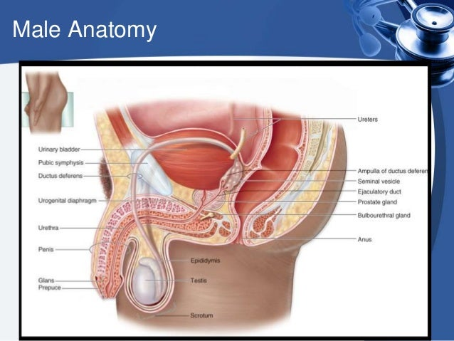male physiology anatomy