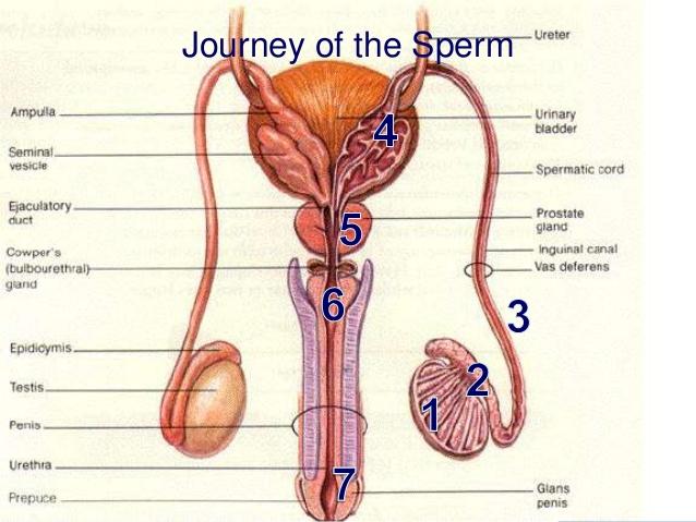 Male Penis Pics 4