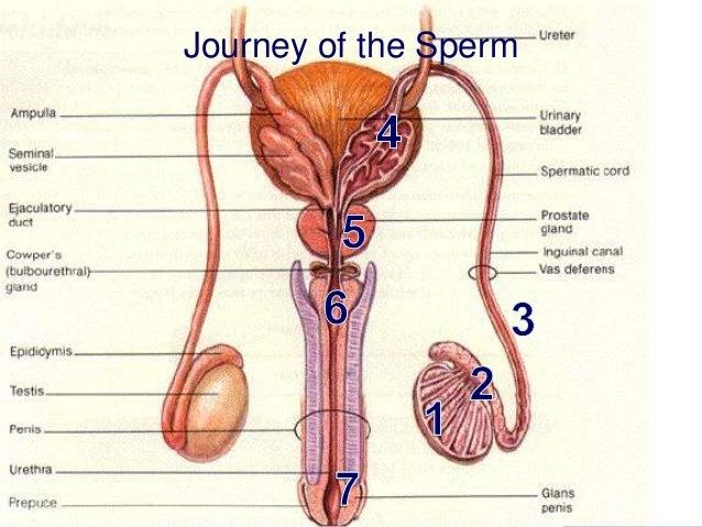 Diagram Of Male Genital Area Application Wiring Diagram