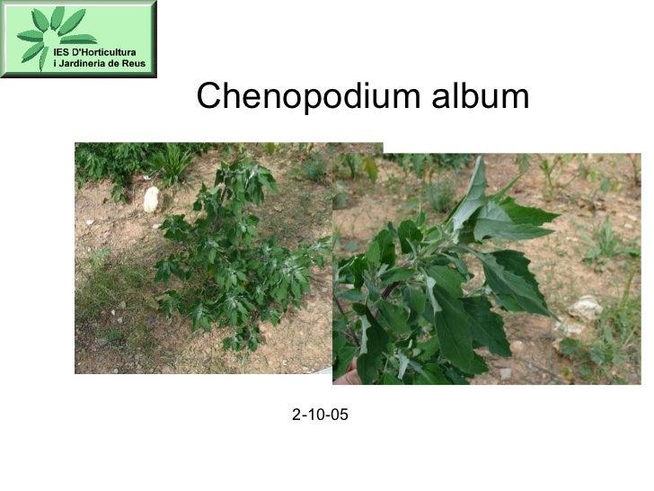 Chenopodium album 2-10-05