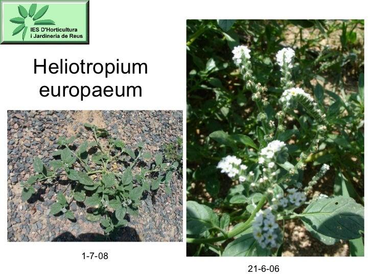 Heliotropium europaeum 1-7-08 21-6-06
