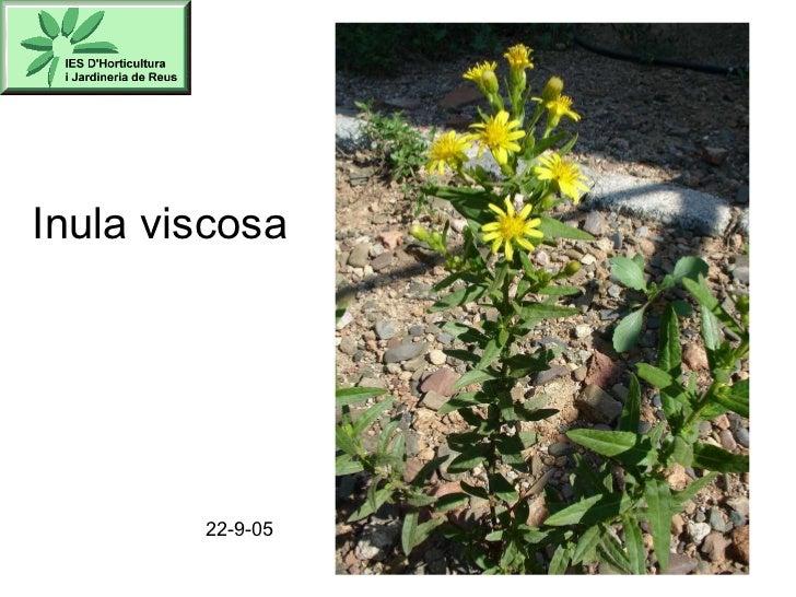 Inula viscosa 22-9-05