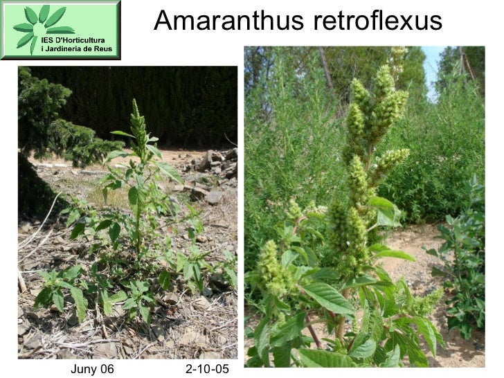 Amaranthus retroflexus Juny 06 2-10-05