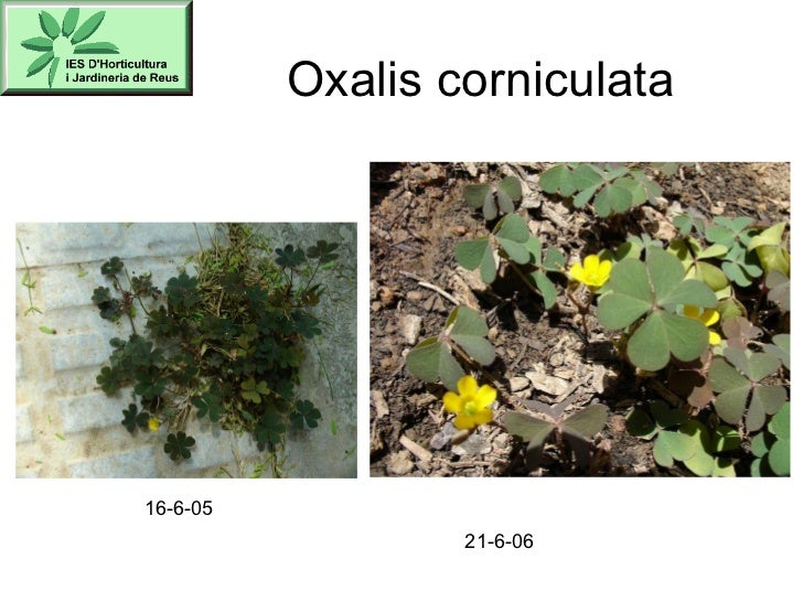 Oxalis corniculata 16-6-05 21-6-06