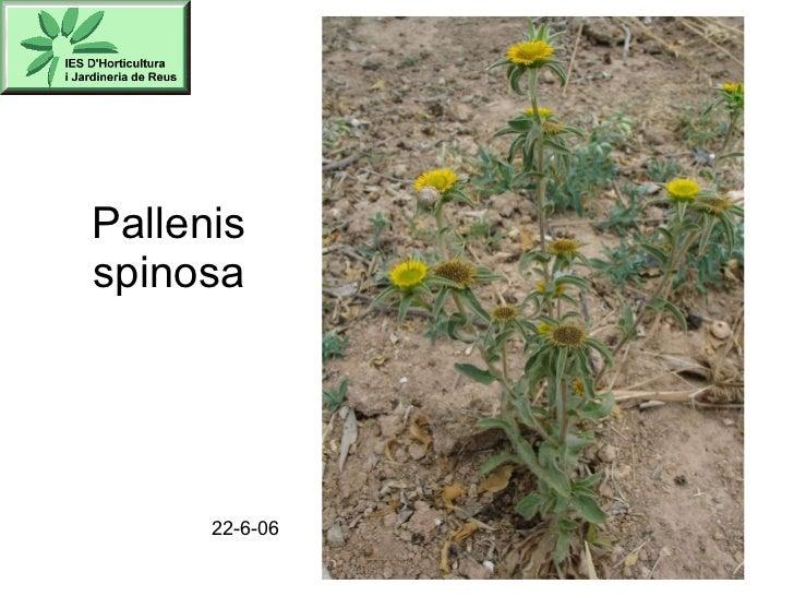 Pallenis spinosa 22-6-06