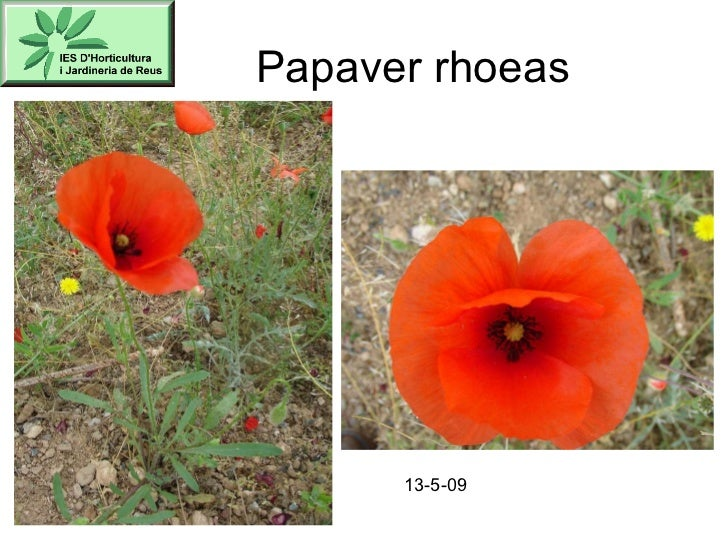 Papaver rhoeas 13-5-09