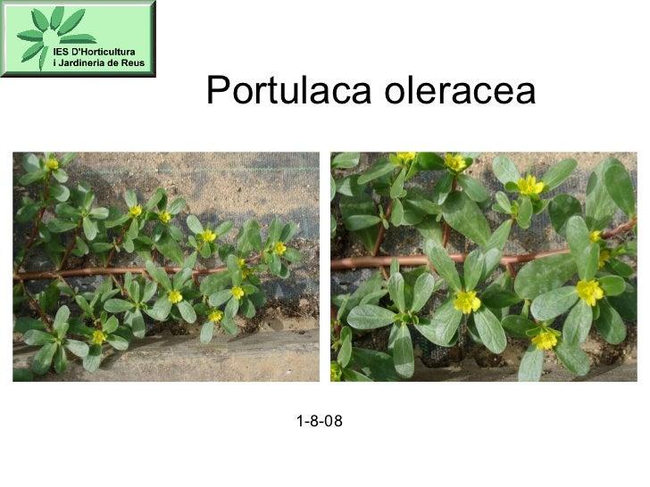 Portulaca oleracea 1-8-08
