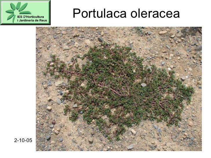 Portulaca oleracea 2-10-05