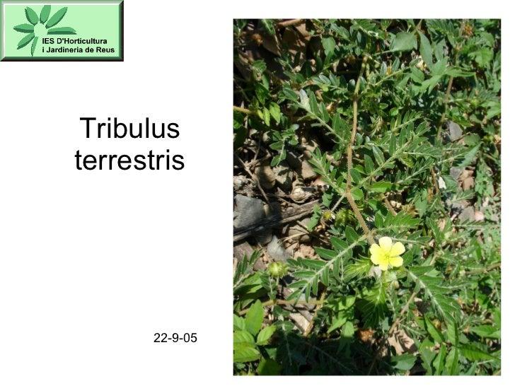 Tribulus terrestris 22-9-05