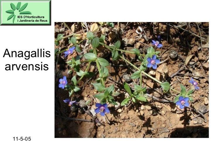 Anagallis arvensis 11-5-05