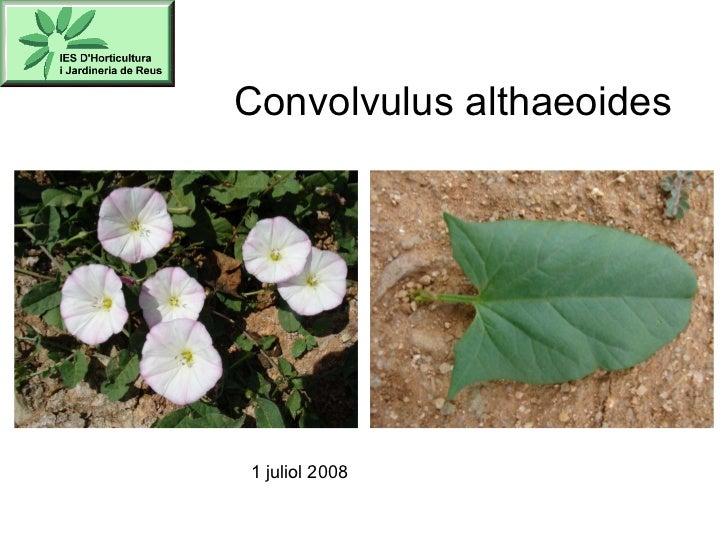 Convolvulus althaeoides 1 juliol 2008