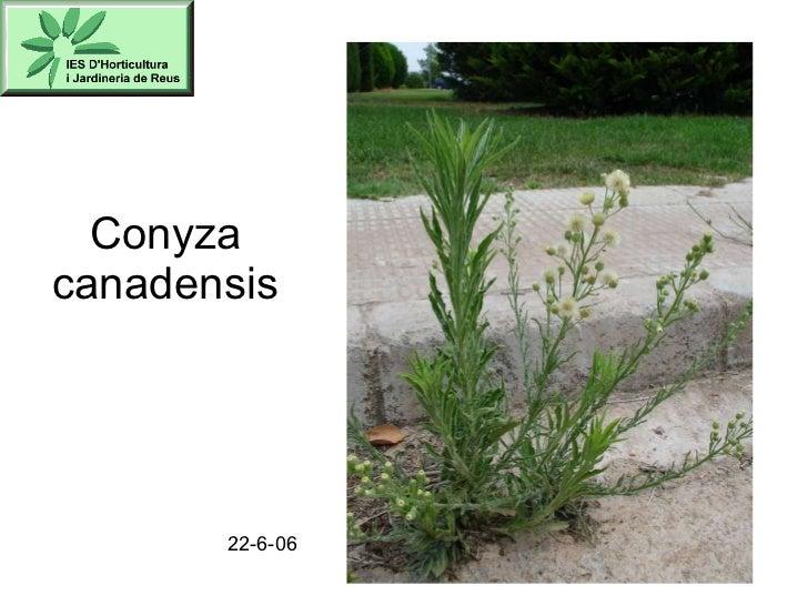 Conyza canadensis 22-6-06